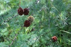 Kleine spruce& x27; s kegels Stock Afbeeldingen