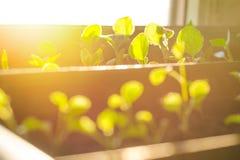 Kleine spruiten in bruine potten, die in de heldere stralen van de de lentezon groeien Het concept het tuinieren, milieuvriendeli stock afbeelding