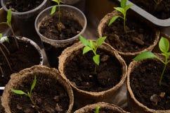 Kleine spruiten van Bulgaarse peper in ronde turfpotten Stock Afbeeldingen