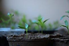 Kleine spruiten van Bulgaarse peper in ronde turfpotten Royalty-vrije Stock Afbeelding
