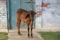 Kleine stier 3 Stock Fotografie