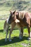 Kleine Stute mit ihrer Mutter Stockfotografie