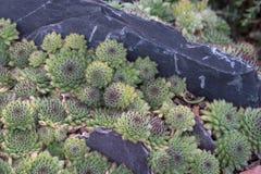 Kleine Succulente Installaties stock fotografie