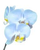 Kleine tak met blauwe orchideeënbloemen Stock Afbeeldingen