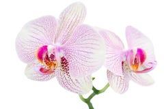 Kleine tak met twee bevlekte orchideeën stock foto's