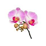 Kleine tak van orchideeënbloemen met knoppen Stock Afbeeldingen