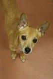 Kleine tan hond die omhoog u met nieuwsgierigheid bekijken Royalty-vrije Stock Afbeeldingen