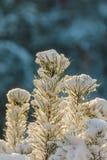 Kleine Tannenzweige umfaßt mit Schnee stockfotos