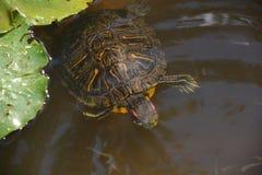 Kleine Teichschildkröte Stockbild