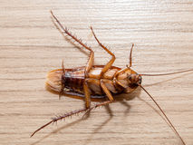 Kleine Tiere der Schaben lenken ärgerliche Krankheitsursachen ab Lizenzfreies Stockfoto