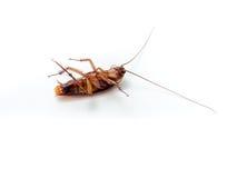 Kleine Tiere der Schaben lenken ärgerliche Krankheitsursachen ab Stockbild