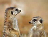 Kleine Tiere - Meerkat Stockfoto