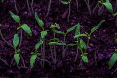 Kleine tomatenspruiten in de grond in de pot stock fotografie