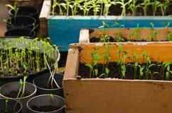 Kleine tomatenzaailing. nieuwe groene zaailingen in doos Royalty-vrije Stock Foto's