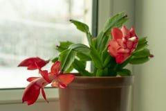 Kleine Topfpflanze, Schlumberger-Blume mit den roten Knospen lizenzfreies stockbild