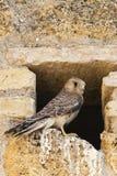 Kleine Torenvalk, Lesser Kestrel, Falco naumanni. Immature Lesser Kestrel (Falco naumanni) at a breeding colony in Spain stock images