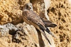 Kleine Torenvalk, Lesser Kestrel, Falco naumanni. Immature Lesser Kestrel (Falco naumanni) at a breeding colony in Spain royalty free stock photo