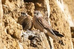 Kleine Torenvalk, Lesser Kestrel, Falco naumanni. Immature Lesser Kestrel (Falco naumanni) at a breeding colony in Spain royalty free stock image