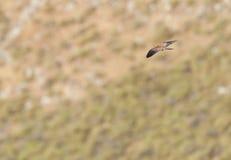 Kleine Torenvalk, Lesser Kestrel, Falco naumanni. Kleine Torenvalk man in vlucht met prooi; Male Lesser Kestrel (Falco naumanni) in flight with prey stock photography