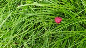 Kleine trillende rode framboos bij natte groene bladen stock afbeeldingen