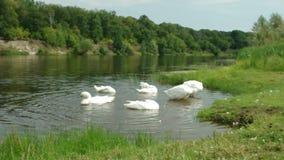 Kleine troepganzen die en hun veren zwemmen schoonmaken dichtbij de bank van een rivier stock videobeelden