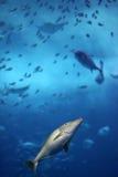 Kleine tropische Fische, die von gegessen werden fliehen Stockfoto