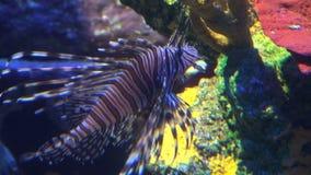 Kleine tropische Lionfishschwimmen durch farbige Felsen stock video footage