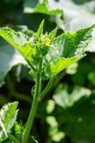 Kleine und bebaute grüne Gurken mit gelben Blumen wachsen Stockfotografie