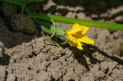 Kleine und bebaute grüne Gurken mit gelben Blumen wachsen Stockbild