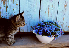 Kleine und blaue Blumen der Katze in der Schüssel Lizenzfreie Stockfotografie