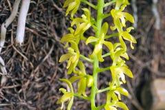 Kleine und empfindliche grüne Orchidee Lizenzfreies Stockfoto