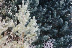 Kleine und junge Kiefer im Schnee Lizenzfreie Stockfotografie