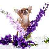 Kleine und lustige Hundechihuahua und -blumen lokalisiert auf weißem Hintergrund Lizenzfreie Stockbilder