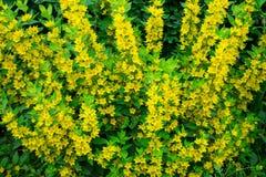 Kleine und nette gelbe Blumen Lizenzfreie Stockfotografie