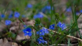 Kleine und schöne blaue Blumen stockfoto