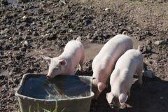 Kleine varkens Stock Foto