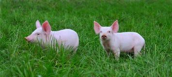 Kleine varkens royalty-vrije stock afbeelding