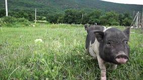Kleine varkens stock videobeelden