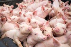 Kleine varkens bij het landbouwbedrijf Stock Afbeelding