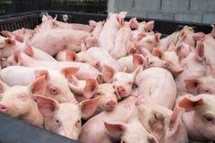 Kleine varkens bij het landbouwbedrijf Stock Afbeeldingen