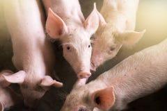 Kleine varkens bij het landbouwbedrijf, varkens in de box royalty-vrije stock afbeelding