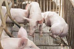 Kleine varkens die gelukkig spelen Royalty-vrije Stock Afbeeldingen