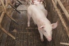 Kleine varkens die gelukkig spelen Stock Foto