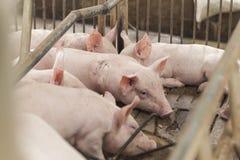 Kleine varkens die gelukkig spelen Royalty-vrije Stock Fotografie