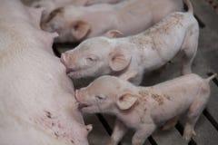 Kleine varkens in het landbouwbedrijf Royalty-vrije Stock Fotografie
