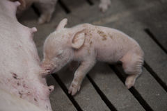Kleine varkens in het landbouwbedrijf Stock Afbeelding