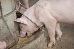 Kleine varkens in het landbouwbedrijf Royalty-vrije Stock Foto