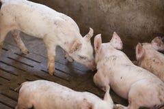 Kleine varkens in het landbouwbedrijf Stock Foto