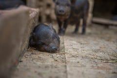 Kleine varkens in het landbouwbedrijf Stock Afbeeldingen