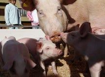 Kleine varkens met hun moeder bij een lokale markt Royalty-vrije Stock Afbeelding
